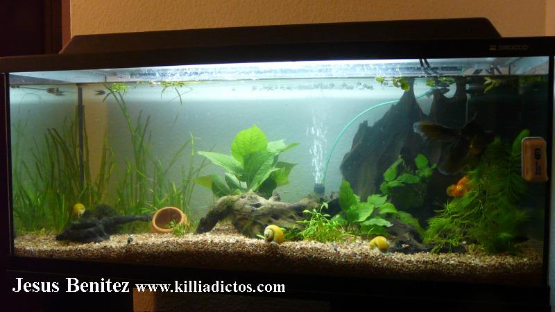 Killiadictos mi nuevo acuario de 160 litros for Cuidados acuario agua fria